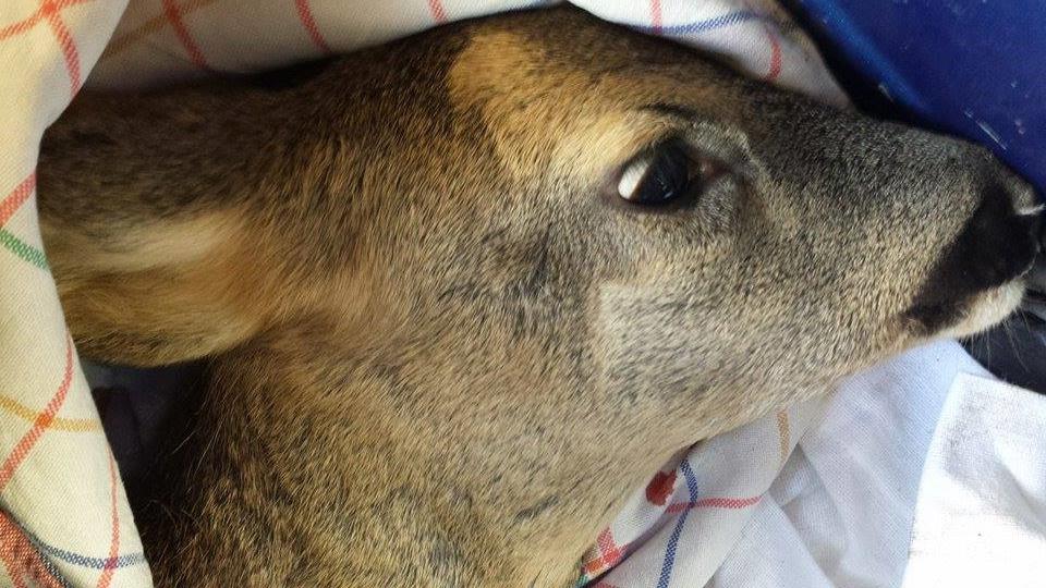Capriolo ferito a morte da un cane prima pagina online for Capriolo animale