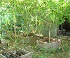 maijuana in giardino