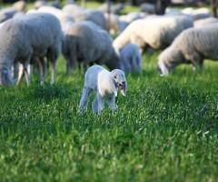 agnello marchigiano