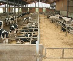 mucche latte