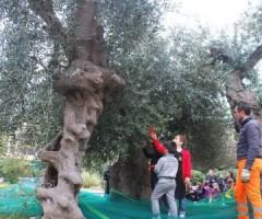 raccolta olive scuola piacentini 027