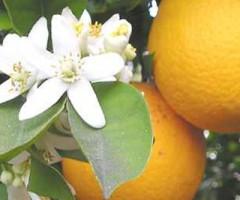 arancio-in-fiore