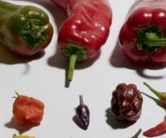 Festival del peperoncino piceno