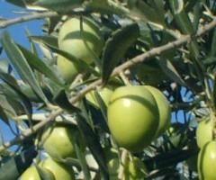 dop oliva ascolana tenera