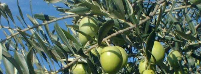 raccolta oliva tenera ascolana