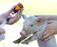 antibiotici agli animali allarme