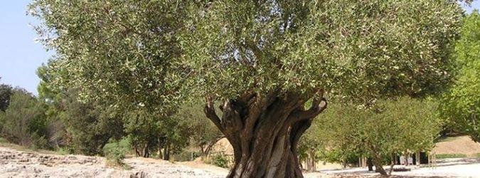 Olivo Ascoli Piceno